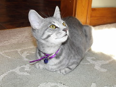 Diamond (josanne70) Tags: cat kitten graycat charcoaltabby