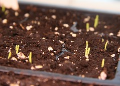 ruby ring sprouts