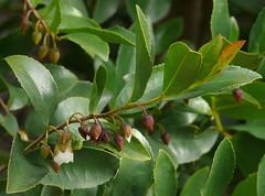 Visnea mocanera #3 (J.G. in S.F.) Tags: flower foliage threatenedspecies flowerbud theaceae berkeleycalifornia ubcbotanyphotooftheday mocan ucbotanicalgardenatberkeley visneamocanera