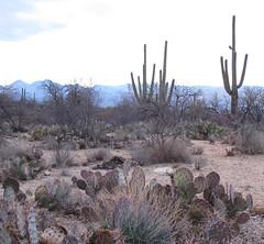 20100202-063908 (Bold Searcher) Tags: arizona saguaronationalpark