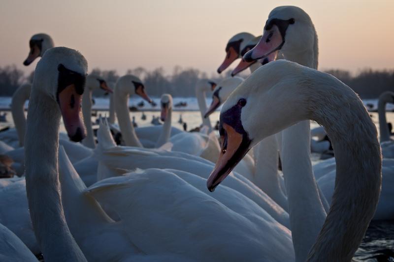 Swan - vistula river