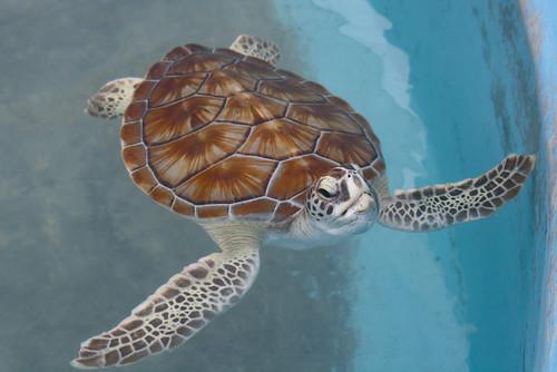 Tortugranja Turtle