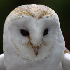 The Wise Barn Owl (Ian Lambert) Tags: uk closeup beak feathers lancashire raptor wise preston sanctuary barnowl blackeyes lancs bridofprey turbarywoods heartshapeface