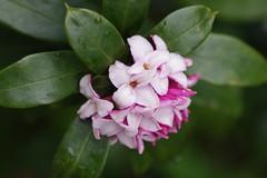 八分咲きの沈丁花