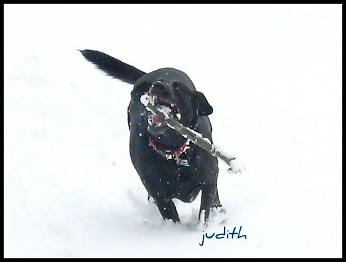 black Labrador Retriever - Raven