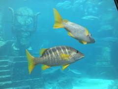 Atlantis Aquarium Silver Fish