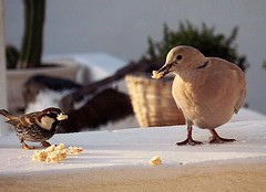 Sharing breakfast (rosiespoonerphotos) Tags: uk england cute nature birds breakfast photography flickr sweet pigeon wildlife lanzarote ps sparrow canaryislands rosiespooner rosyrosie2009 rosemaryspooner rosiespoonerphotography