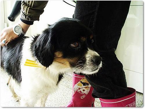 「助養認養」桃園從新屋收容所救出的混英國查理斯小獵犬查理弟弟,尚缺助養伙食費2單位,能直接認養是最好,才有餘力拯救下一隻,轉PO也是很重要,謝謝您,20100313