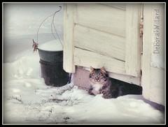 Waiting for Someone to Shovel the Walkway (DebDubya) Tags: winter snow cat chat tabby rustic gato katze weatheredwood gatto crawlspace oldbuilding hidingplace catsinsnow