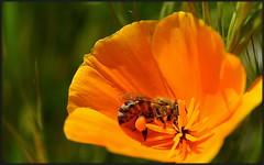 Pollen Ball Hauler (tdlucas5000) Tags: california macro ball bokeh bee poppy pollen californiapoppy californica macrolife eschscholiza
