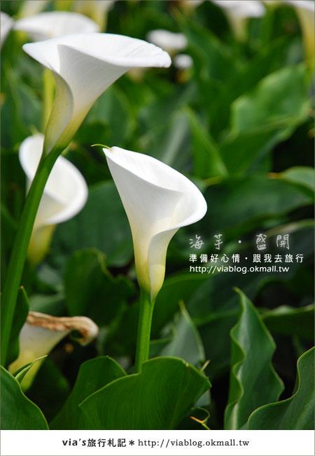 【2010竹子湖海芋季】陽明山竹子湖海芋季~海芋盛開囉!19