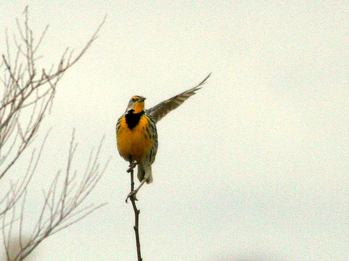 Eastern Meadowlark 2-20100315
