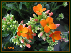 Kalanchoe blossfeldiana (Christmas Kalanchoe, Florist Kalanchoe, Flaming Katy) with orange flowers, at a garden nursery