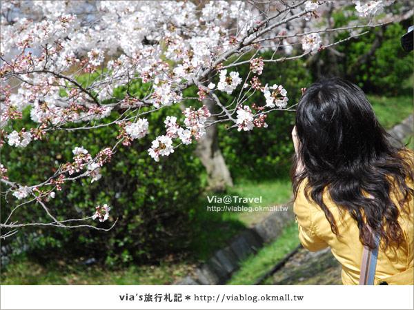 【via京都賞櫻行】鐵道上的櫻花美景~蹴上鐵道