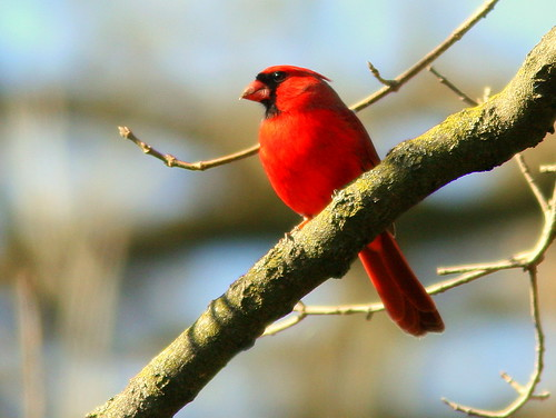 Male Northern Cardinal 20100317