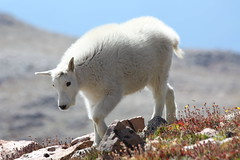 Mountain Goat Kid, Mt. Evans, Colorado