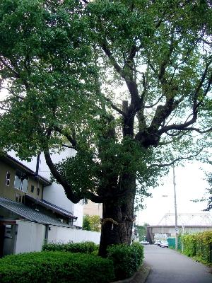 本庄西の楠のご神木