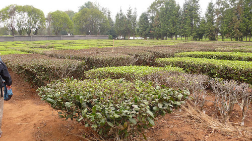 Tea Research Station - Menghai