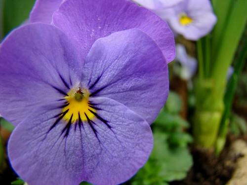 Purple wonder