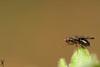 Signal flie (sepsidae) (Haentjens Raphaël - Macropixels) Tags: macro nature up closeup insect close belgium belgique signal arthropods arthropoda insecte diptera raphaël macrophotography wallonie macrography insecta flie hexapoda pterygota eukaryotes bilateria ecdysozoa neoptera endopterygota macrophotographie eukaryota diptère macrographie dipterous sepsidae haentjens macropixels protostomia mandibulata bilaterians sepside macrolife protostomes ecdysozoans panarthropoda dicondylia atelocerata panhexapoda panorpida