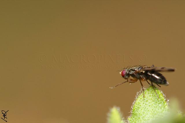 Signal flie (sepsidae)