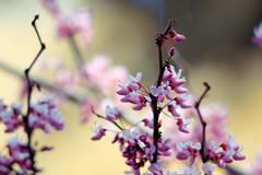 bloom (red bud tree) (Matt Kawashima) Tags: california pink red plant flower tree bush branch purple sandiego twig bud twigs redbudtree