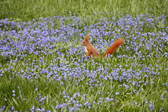 search and find - suchen und finden (Maggi_94) Tags: easter squirrel egg meadow wiese nut ostern ei squill eichhrnchen scillasiberica blumenwiese sciurusvulgaris nuss blaustern flowermeadow blausterne sibirischerblaustern onephotoweeklycontest