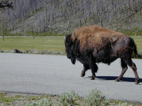 5buffalo-butt.jpg