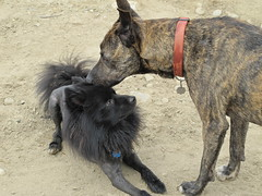 The two Jacks have a moment (jnoc) Tags: dog dogs montague montagueplains