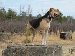 Frito! (jnoc) Tags: dog dogs montague montagueplains
