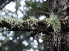 (Julia TortoiseHugger) Tags: tree beard washington moss northface oldmansbeard usnea beardlichen treemoss northfacelighthouse
