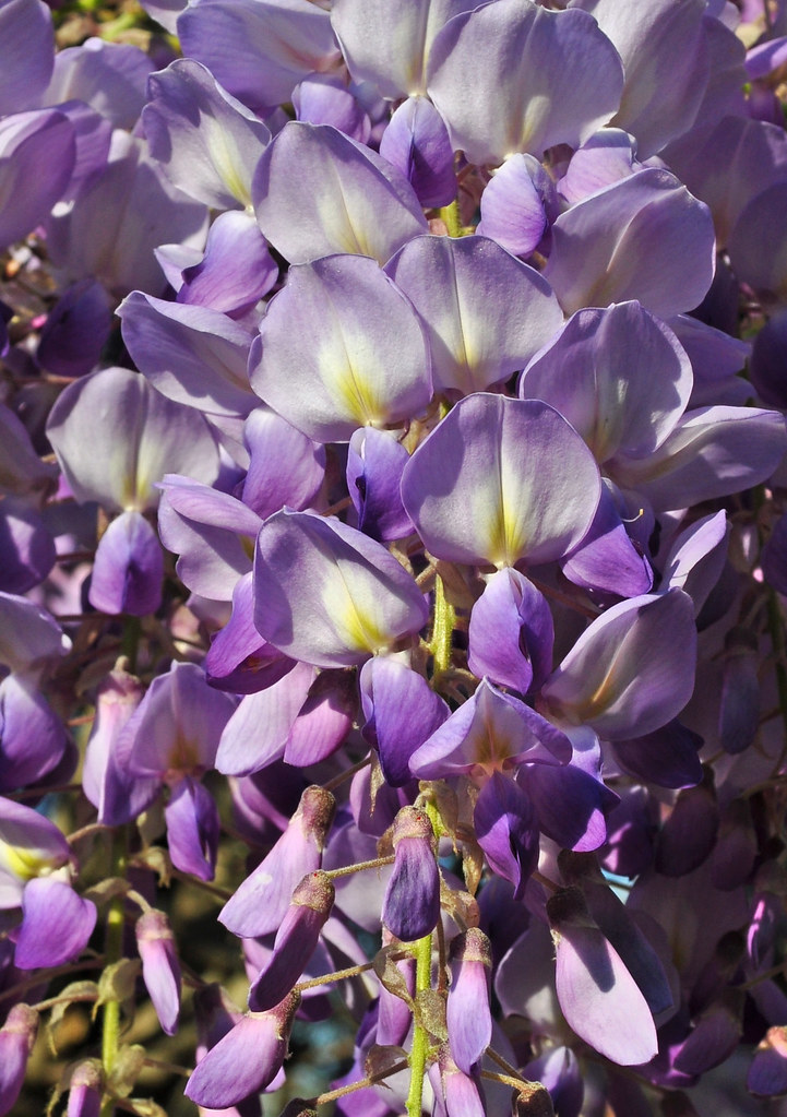 Wisteria floribunda 'Texas Purple' (2)