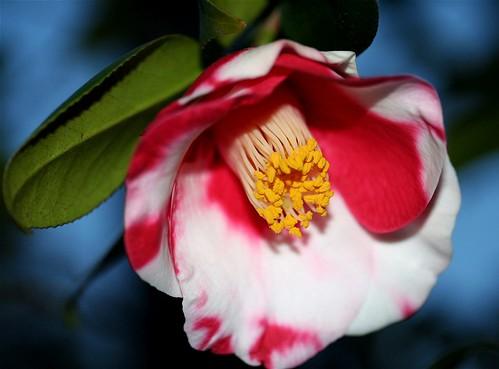 Camellia japonica  'Tsukinowa'