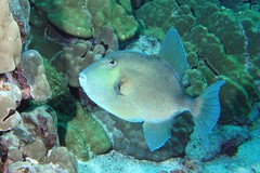 Finescale Trigger (BarryFackler) Tags: ocean sea fish water hawaii marine pacific dive scuba diving sealife pacificocean diver bigisland aquatic triggerfish marinelife seacreature honaunau southkona honaunaubay sealifecamera orcadivers finescaletriggerfish barryfackler barronfackler