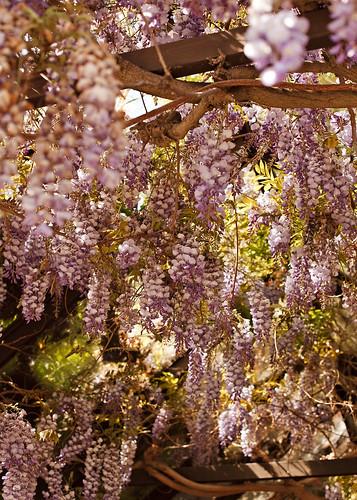 98/365 . . . wisteria