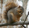 Bo's Nemisis (chippewabear) Tags: rodent squirrel eating enemy redsquirrel nemisis naturallymagnificent