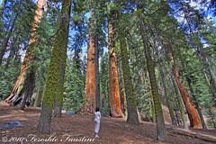 Kings Canyon Sequoia Trees 4 (Fereshte Faustini) Tags: sequoia kingscanyon naturephotography landscapephotography hdrphotography fereshtefaustini