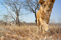 Curious Lioness (Burrard-Lucas Wildlife Photography) Tags: tanzania wildlife lion safari curious lioness katavi beetlecam