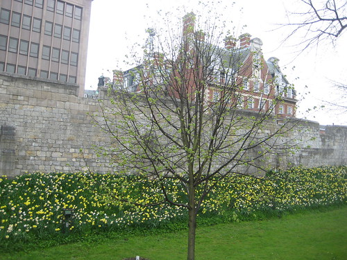Daffodils along York Town Wall