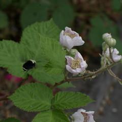 BlackberryBumblebee