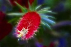 I Believe In Magic (Mona Hura) Tags: red plant tree electric that this is bottle bush with little magic brush exotic believe bloom fractal bottlebrush did shrub effect heres 9192 i fractalius