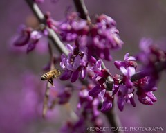 Bee and Redbuds, El Portal.  April 13, 2010 (Robert Pearce Photography) Tags: california flower landscape spring purple blossom bokeh bee bloom april honeybee redbud 2010 necter nikond200 robertpearce robertpearcephotography