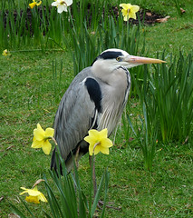 more heron in the daffs (coxy2001) Tags: heron panasonic regentspark daffs specanimal natureselegantshots dmcfz28 mygearandmepremium mygearandmebronze mygearandmesilver