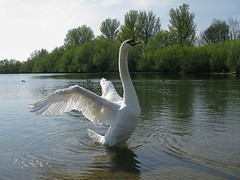 Mute Swan (Andy Web) Tags: white lake bird nature water canon swan wings feathers stretch ripples cygnusolor g9