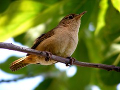 Warbler (Toms Susemihl) Tags: green bird background brazilian warbler birdy abacateiro rouxinoul