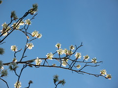 flowering Amelanchier
