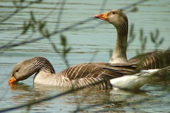 Pinkfoot through the willows (tina negus) Tags: lake geese wildlife lincolnshire ancaster digiscope pinkfoot ancasterwaters