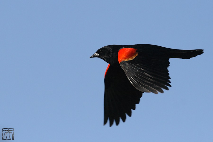 Red-winged Blackbird 04101