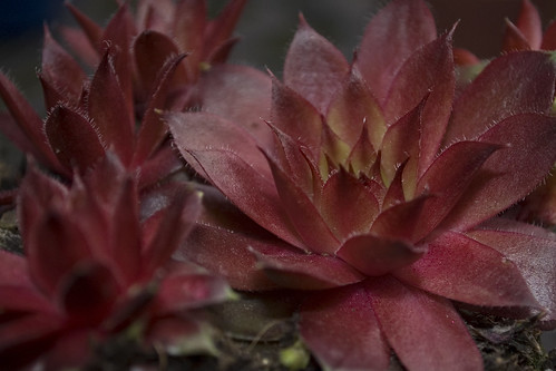 Sempervivum cv.
