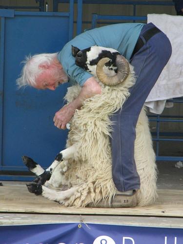 sheep sheering 1